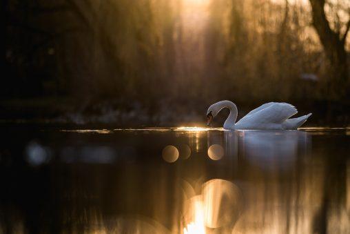 Labuť bílá