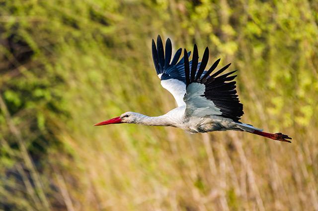Ostření ptáků za letu Nikonem Z6