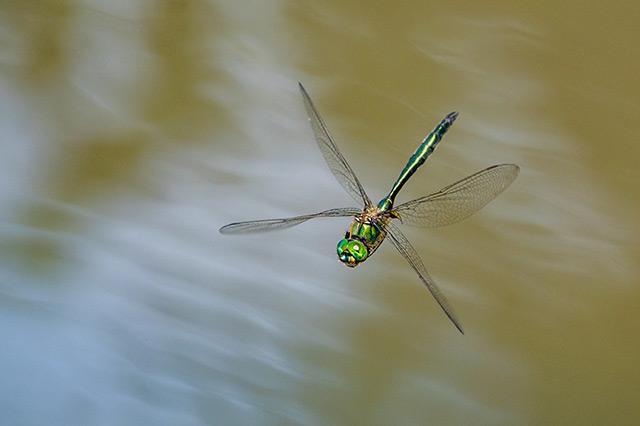 Vážka v letu bezzrcadlovkou Nikon Z6