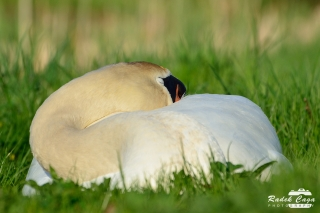 zivocichove labut (8)