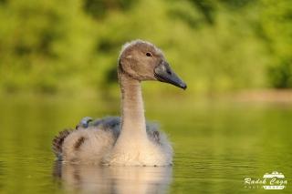 zivocichove labut (1)