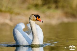 zivocichove labut (11)