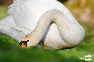 zivocichove labut (12)