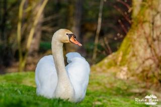 zivocichove labut (13)
