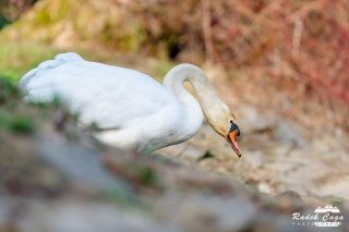 zivocichove labut (14)