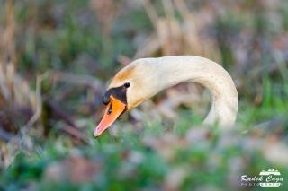 zivocichove labut (16)