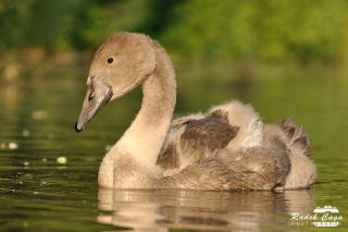 zivocichove labut (2)