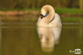 zivocichove labut (4)