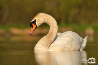 zivocichove labut (5)
