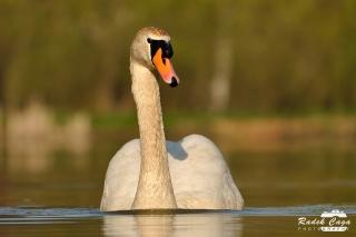 zivocichove labut (6)